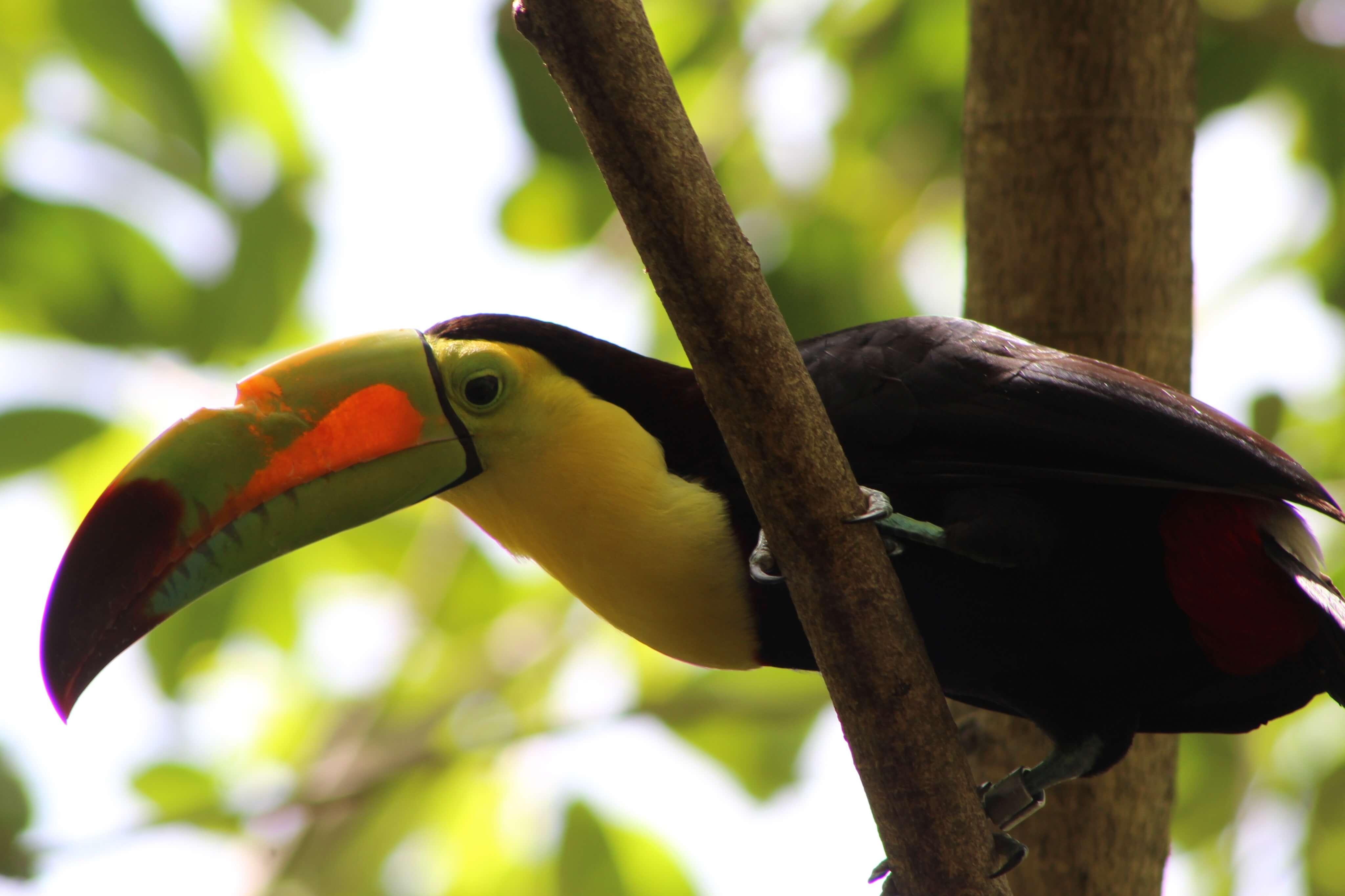 Gabrielle Ferrara: Brie's Art: Toucan, Costa Rica, photography, nature photography