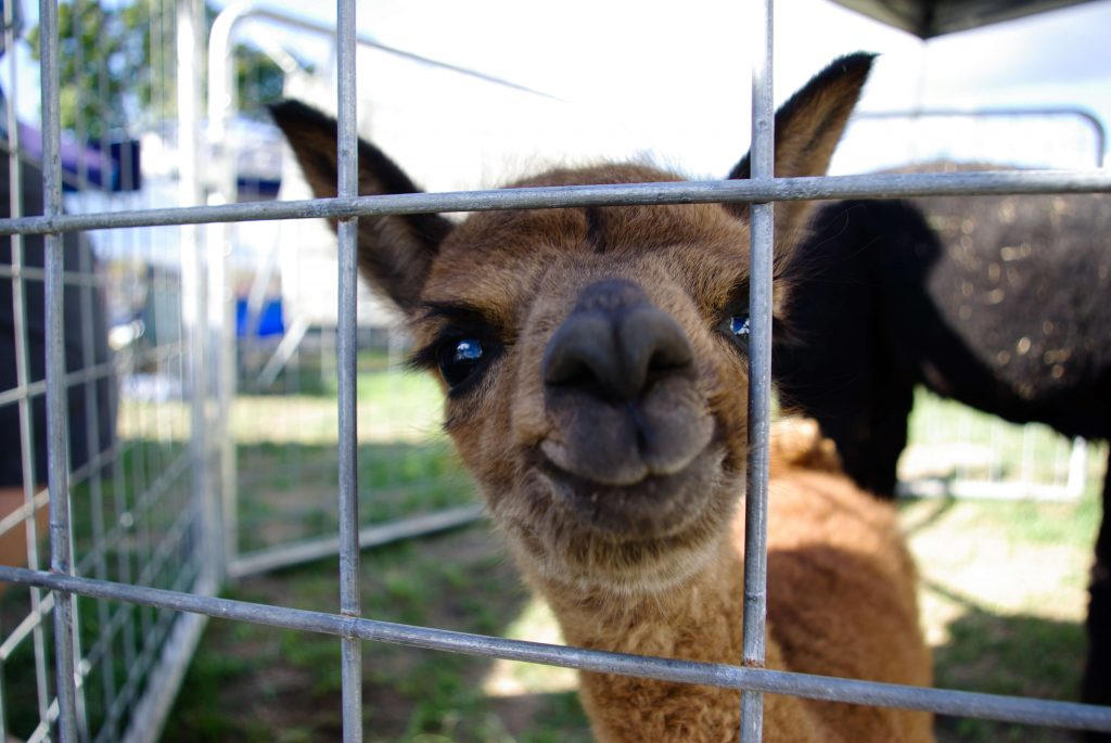 Kellogg's Alpacas, fiber art demonstration, Woodstock-new paltz art & Crafts fair